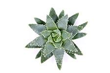 Aloe-Brevifolia