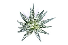 Aloe-Humilis