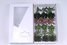 Aloe-Mix-8cm-Wincx