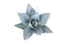 Aloe-Peglarae