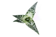 Aloe-Variagata