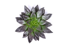 Echeveria-Black-new