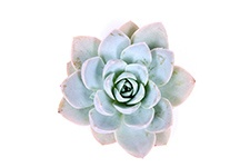 Echeveria-Blue-Lotus