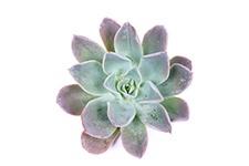 Echeveria-Blue-prince