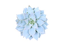 Echeveria-Blue-star