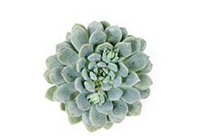 Echeveria-Chris-Ryan