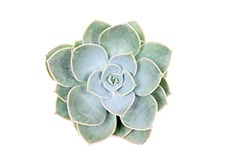 Echeveria-Green-pearl