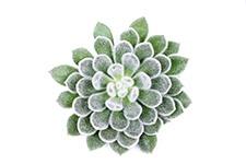 Echeveria-Green-velvet