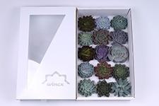 Echeveria-Mix-10cm-Wincx