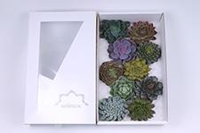 Echeveria-Mix-12cm-Wincx