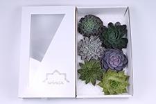 Echeveria-Mix-14cm-Wincx