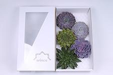 Echeveria-Mix-16cm-Wincx