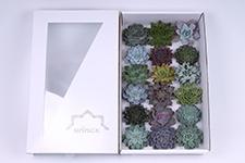 Echeveria-Mix-8cm-Wincx