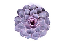 Echeveria-Purple-pearl