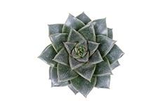 Echeveria-Purpurea