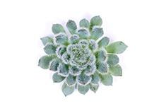 Echeveria-Setosa-x-rundelli