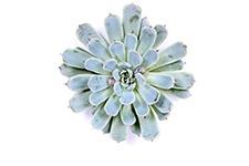 Echeveria-Texensis