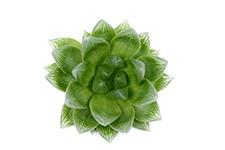 Haworthia-Cymbiformis-Obtusa