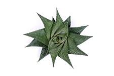 Haworthia-Limifolia-Twist