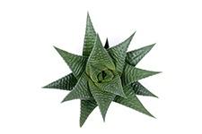 Haworthia-Limifolia